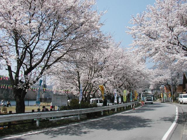 大野貯水池の桜