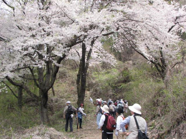 千本桜登山道中腹