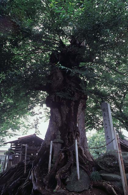 鶴島のムクノキ