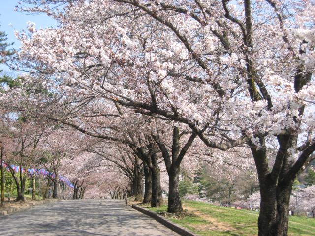 松本観光桜まつり