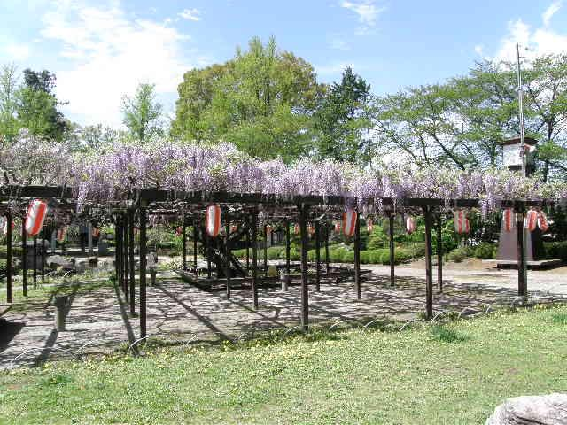 高島公園の藤の花