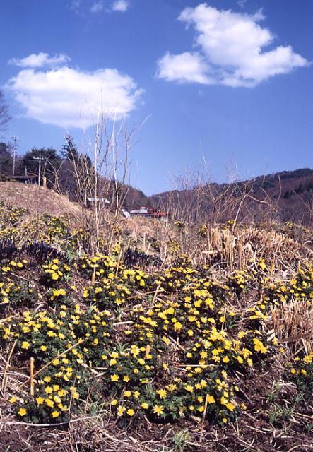 板沢地区の福寿草