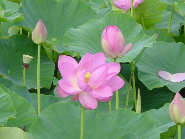 井戸尻遺跡の蓮の花