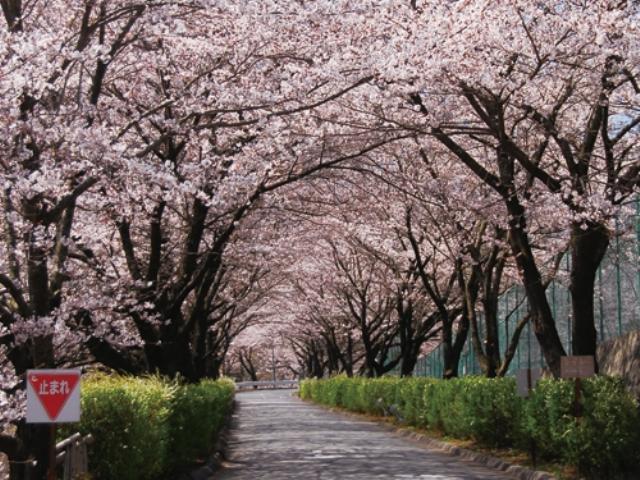 信州いいじま桜まつり