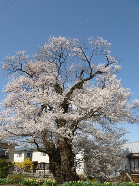 北殿のエドヒガン桜