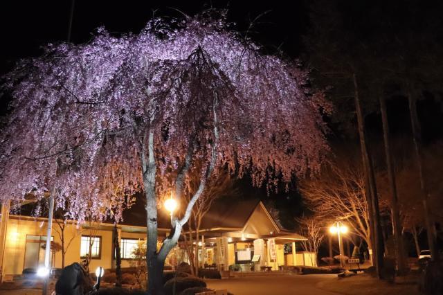 信州大芝高原の桜