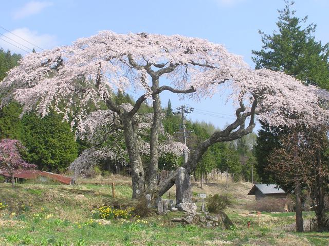 大入りのしだれ桜
