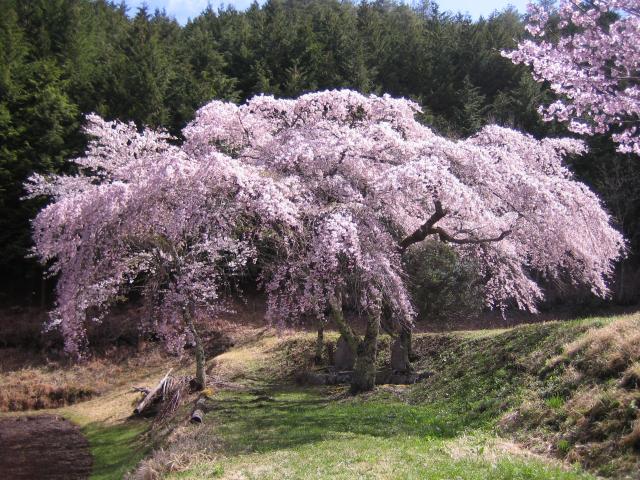 三太夫の桜