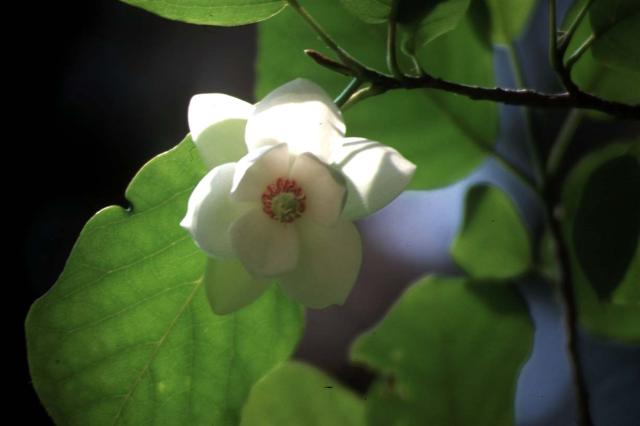 赤沢自然休養林のオオヤマレンゲ
