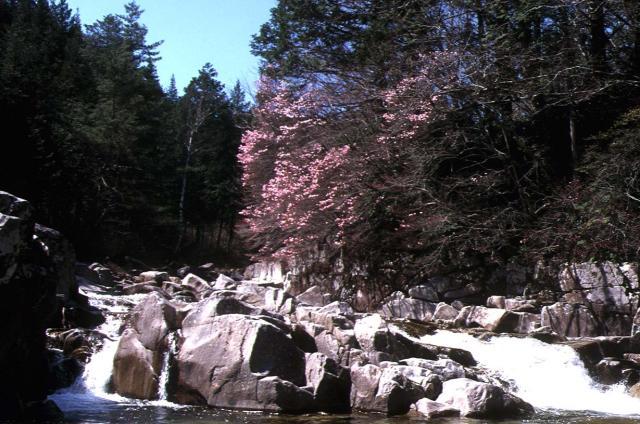 赤沢自然休養林のアカヤシオ