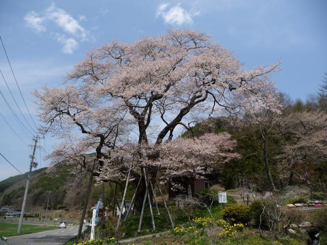 菅の十王堂 エドヒガン桜