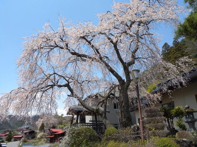 鳳泉寺の枝垂れ桜
