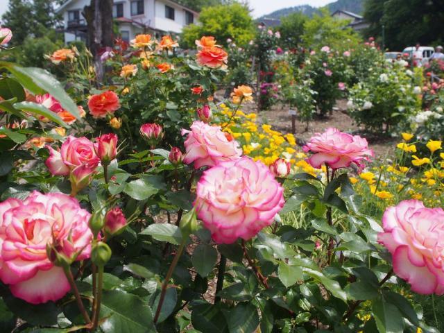 あづみ野バラ園のバラ