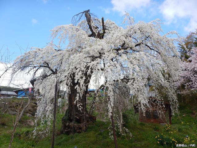 大日庵の源平しだれ桜