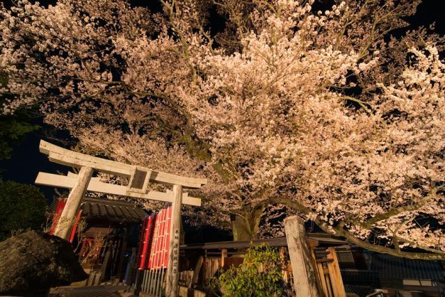 高福時彼岸桜