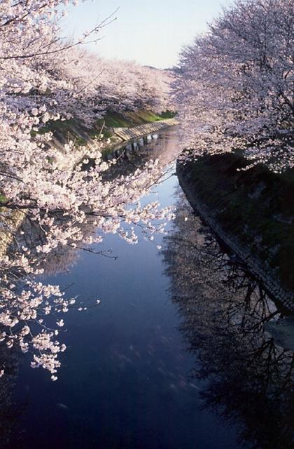 Shinsakai River Cherry Blossoms★21213ac2100131677