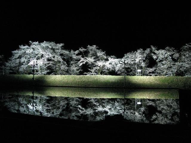 御所桜 夜のライトアップ