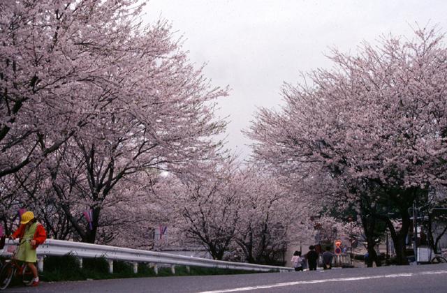 奈良津堤の桜