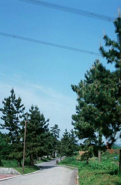 中山道の松並木