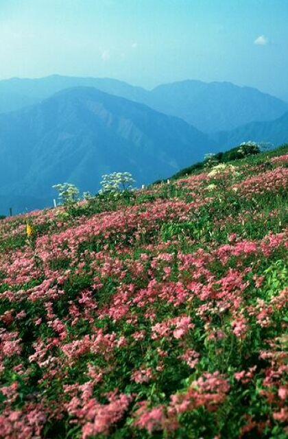 伊吹山の花畑