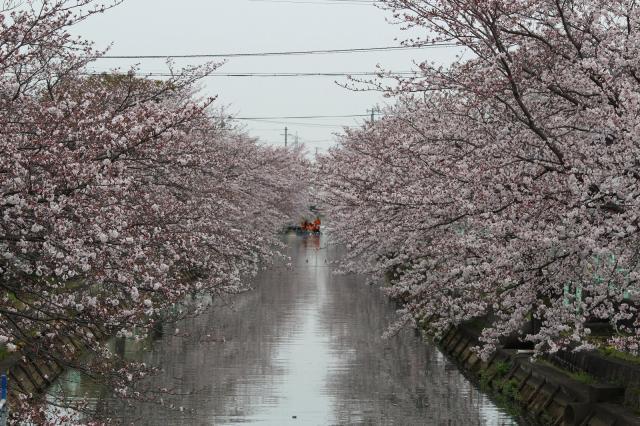 千本桜まつり