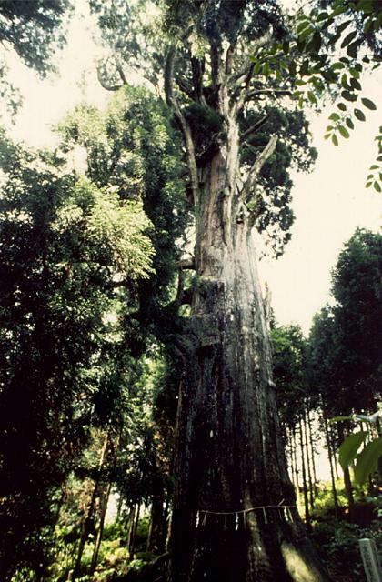 大山白山神社の大杉