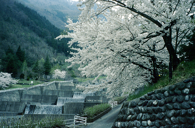 栃尾温泉桜まつり