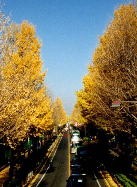 日大通りのイチョウ並木