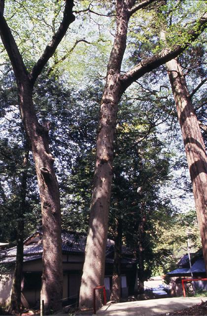 山神社のムクの木
