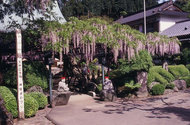林泉寺のフジ