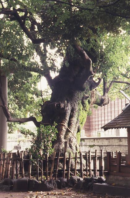 音無神社のタブの木