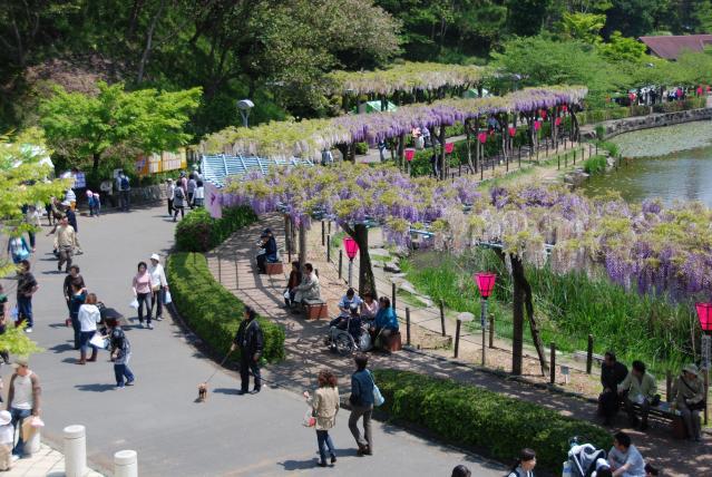 蓮華寺池公園 藤まつり