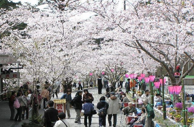 Hotayama Cherry Blossom Festival★22216ba2212065702