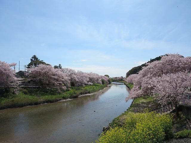 勝間田川堤の桜並木