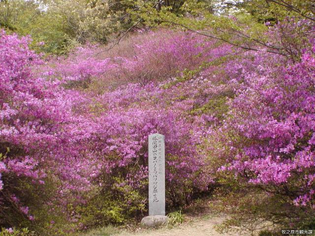 【開催中止】勝間田公園つつじまつり