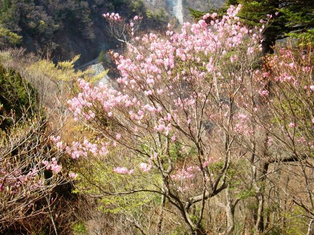 大札山のアカヤシオ