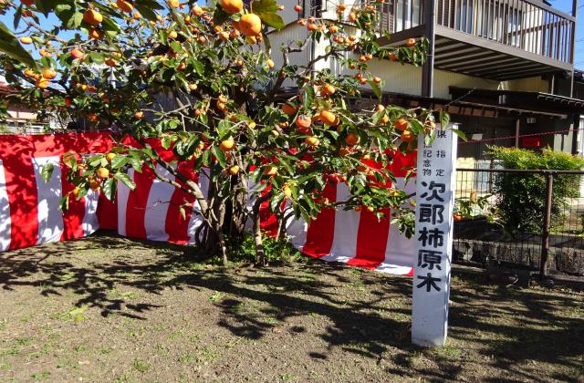 次郎柿原木