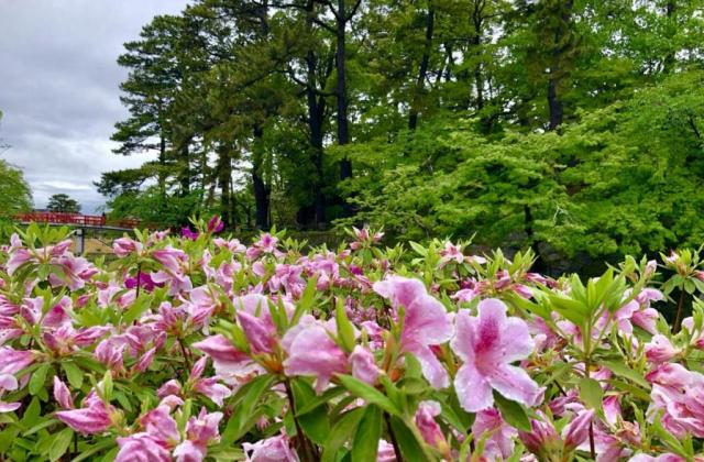 岡崎公園のサツキ,ツツジ