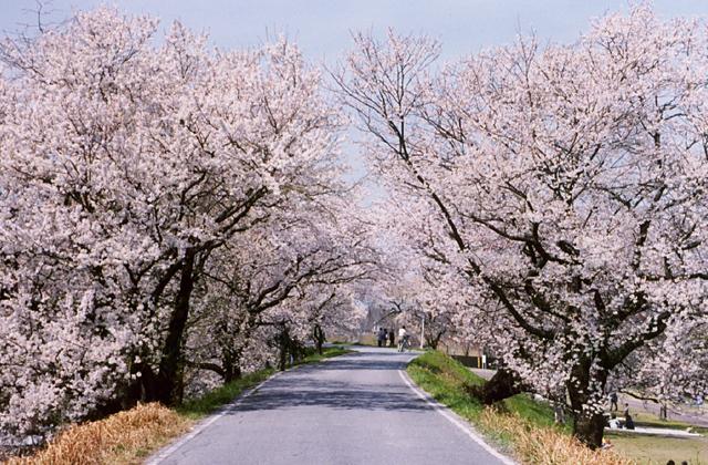 木曽川堤(桜)