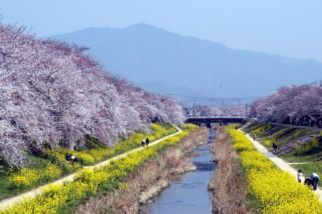toyokawa櫻花節