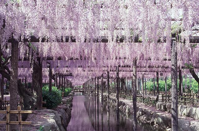 天王河公園的紫藤