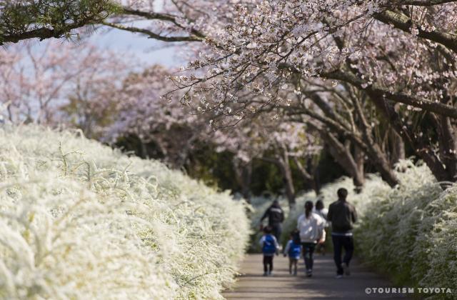 愛知県緑化センターのサクラとユキヤナギ
