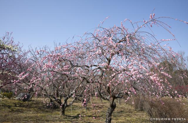 平芝公園梅まつり