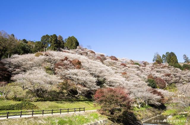 小原四季桜まつり 〈2020年は中止となりました〉