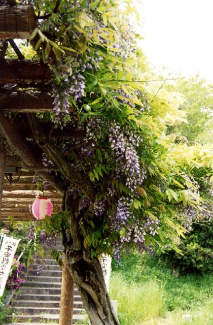 Wisteria of castle wisteria garden | Must-see-japan Anjo-shi ...