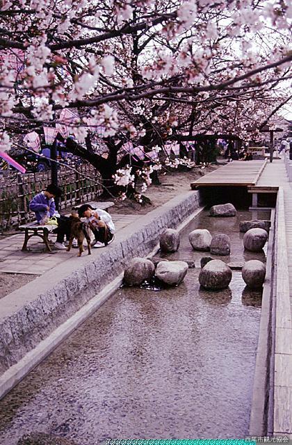 みどり川の桜