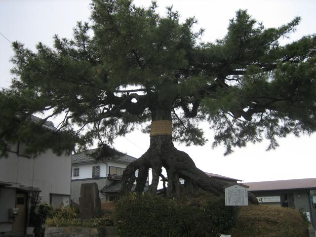 根上升的松樹