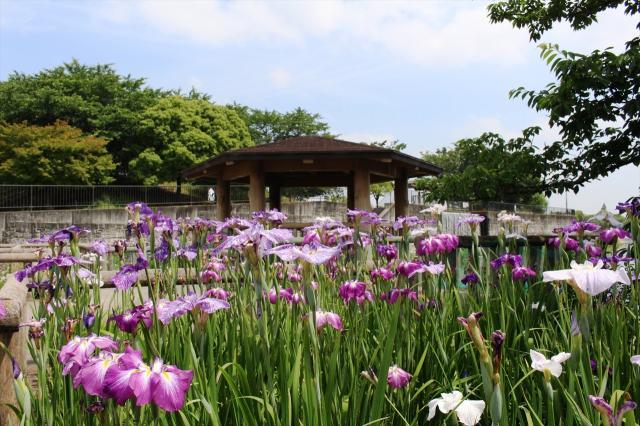 花菖蒲(愛知県蟹江町)