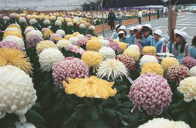 所有的阿久比市鎮的菊花展