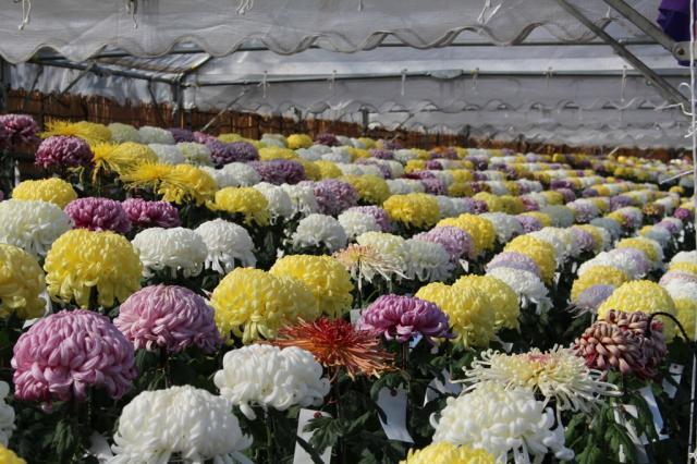 【2020年中止】阿久比町みんなの菊花展